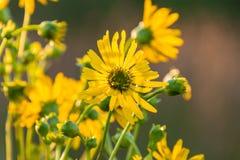 Ein gelber Wildflower, der eine andere Richtung gegenüberstellt Lizenzfreies Stockbild