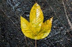 Gelbes Blatt auf einem schwarzen Felsen Stockfotografie