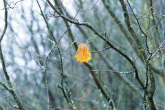 Ein gelbes Blatt steht auf den Niederlassungen eines trockenen und blattlosen Baums im Herbst still Stockfoto