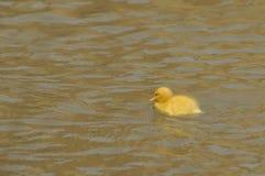 Ein gelbes Entlein Stockfotos
