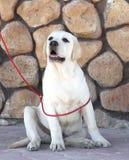 Ein gelbes Labrador im Park Lizenzfreies Stockfoto