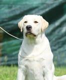 Ein gelbes Labrador im Parkporträt Stockfoto