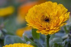 Ein gelbes Porträt der wilden Blume im Dschungel Stockbilder