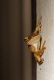 Ein gemeiner Buschfrosch, der an die Wand hält Lizenzfreies Stockfoto