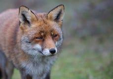 Ein gemeiner roter Fuchs Stockfotografie