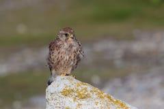 Ein gemeiner Turmfalke, Falco-tinunculus, erwachsene Frau hockte Lizenzfreies Stockbild