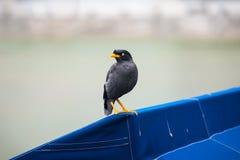 Ein gemeiner Vogel Javan Mynah durch den Fluss in Singapur lizenzfreie stockfotos