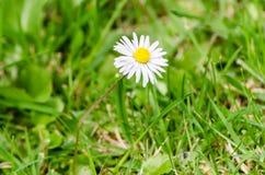 Ein gemeines Garten-Gänseblümchen - Bellis Perenni - unter grünen Blättern Lizenzfreies Stockfoto