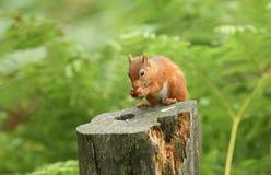 Ein gemeines Sitzen erstaunlichen Eichhörnchen Sciurus auf einem Klotz, der eine Nuss isst Lizenzfreies Stockbild