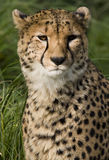 Ein Gepard (Acinonyx jubatus) - Botswana Stockfotos
