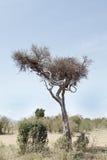 Ein Gepard, der auf einem Baum mit einem Opfer stillsteht, hielt auf anderer Niederlassung Stockbild