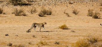 Ein Gepard, der sich liebenswürdig in die trockene Landschaft im Kalahari im Grenzpark Kgalagadi zwischen Namibia und S bewegt lizenzfreie stockfotografie