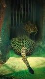 Ein Gepard mit vibrierenden Augen Stockbild