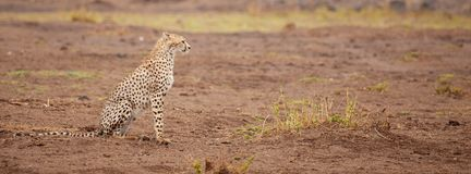Ein gepard sitzt, Safari in Kenia stockbild