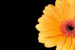 Ein Gerberagänseblümchen Stockfotos