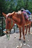 Ein gesatteltes tibetanisches Pferd Lizenzfreie Stockfotos
