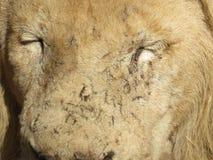 Ein Gesicht der lionÂs Stockfotografie