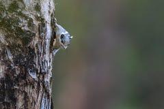 Ein gestreiftes Eichhörnchen, das äußere Barke isst Stockfotos