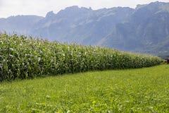 Ein Getreidefeld in den Bergen Stockfotografie