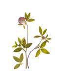 Ein getrockneter Zweig des Klees mit Blume für Herbarium Stockfotografie