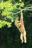 Ein Gibbon, der an der Niederlassung hängt Lizenzfreies Stockbild