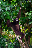 Ein Gibbon draußen im Wald, der von einem Dschungelbaum hängt Lizenzfreie Stockbilder