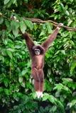Ein Gibbon im Wald, der von einem Baum im Dschungel hängt Lizenzfreies Stockfoto