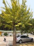 Ein Ginkgobaum lizenzfreie stockfotografie
