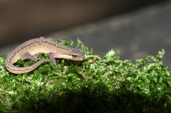 Ein glatter Newt alias die allgemeine gemeine Jagd Newt Lissotritons im Moos stockfoto