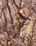 Ein glückliches Paar des purpurroten Grenadiers Lizenzfreie Stockfotografie