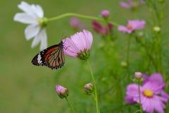 Ein Gleiskettenfahrzeug macht zu einen Schmetterling Stockfotografie