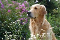 Ein golden retriever-Hund, der in einem Garten unter den Blumen, weg schauend sitzt Lizenzfreies Stockfoto