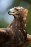 Ein goldener Adler (Aquila chrysaetos) Stockbilder