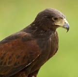 Ein goldener Adler (Aquila chrysaetos) Stockbild