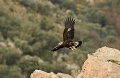 Goldener Adler, der unter den Felsen des Berges sich entfernt Lizenzfreie Stockfotos
