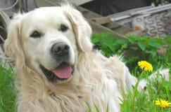 Ein goldener Apportierhund Stockbild