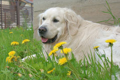 Ein goldener Apportierhund Lizenzfreie Stockfotos
