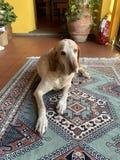 Ein goldener Hund der erwachsenen großen Mischzucht Farb, derauf dem Teppich im Haus niederlegt lizenzfreie stockbilder