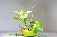 Ein goldener Pothos gepflanzt in einem Oberteil der Zitrusfrucht Sweetyfrucht Lizenzfreie Stockfotos