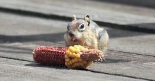 Ein goldenes überzogenes Eichhörnchen, das Mais auf einer Plattform isst Stockbild