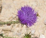 Ein goldenes Beefly auf palästinensischer Distel lizenzfreies stockfoto