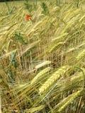 Ein goldenes Feld mit Korn Lizenzfreie Stockfotografie