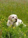 Ein goldenes Labrador, das sich in einer Wiese hinlegt Stockfotos