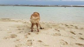 Ein goldenes Labrador steht auf dem sandigen Ufer des Ozeans und wedelt sein Endstück dann läuft und überbrückt in das Wasser stock video