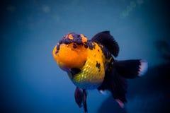 Ein Goldfisch Stockfoto
