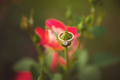 Ein Goldring mit einem Diamanten auf einer Rosenknospe lizenzfreie stockfotos