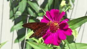 Ein Golf Fritillary-Schmetterling trinkt Nektar von einer Zinniablume stock video
