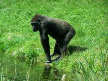 Ein Gorilla lizenzfreie stockbilder
