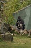 Ein Gorilla auf dem Rasen Stockbilder