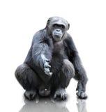 Ein Gorilla, der auf dem weißen Hintergrund, lokalisiert sitzt Lizenzfreie Stockbilder
